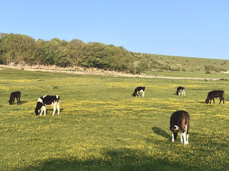 The cows in the meadow